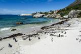 A Nesting Colony of African Penguins on a Beach Near a Towns Residential Estate Lámina fotográfica por Edwards, Jason