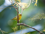 A Saffron Finch, Sicalis Flaveola, Resting in a Tropical Scene in the Atlantic Rainforest Impressão fotográfica por Alex Saberi