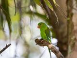 A Plain Parakeet, Brotogeris Tirica, Resting on a Branch Impressão fotográfica por Alex Saberi