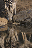 Close Up of a Zebra Drinking, and its Reflection in the Water Photographic Print by Bob Smith