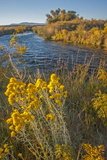 Rabbitbrush Blooms Beside the Owens River, a Major Water Supply for the City of Los Angeles Photographic Print by Gordon Wiltsie