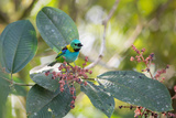 A Green-Headed Tanager Feeding on Berries of a Tree in the Atlantic Rainforest Impressão fotográfica por Alex Saberi