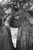Low Angle View of a Two Trees with Intertwining Branches Fotografisk trykk av Beverly Joubert