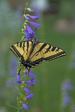 A Swallowtail Butterfly Feeds on Flower Nectar in a Xeriscape Garden in Bishop, California Photographic Print by Gordon Wiltsie