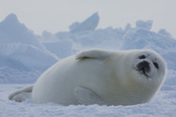 A Harp Seal Pup Rests at the Iles De La Madeleine in the Gulf of Saint Lawrence Lámina fotográfica por Cristina Mittermeier