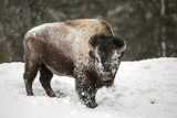 Portrait of a Snow-Dusted American Bison, Bison Bison, after a Refreshing Roll in the Snow Fotografisk trykk av Robbie George