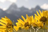 Arrowleaf Balsam Root, Balsamorhiza Sagittata, Flowers Grow in Grand Teton National Park Photographic Print by Phil Schermeister