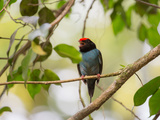 A Blue Manakin, Chiroxiphia Caudata, Bird Rests on a Branch in Ubatuba, Brazil Impressão fotográfica por Alex Saberi