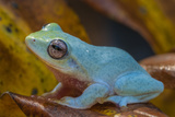 A Powder Blue Mountain Frog, Philautus Asankai, in the Sinharaja Forest Reserve Photographic Print by Cristina Mittermeier