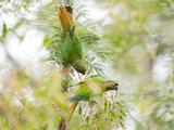 Two Maroon-Bellied Parakeets Feeding in a Tree in Ubatuba, Brazil Impressão fotográfica por Alex Saberi