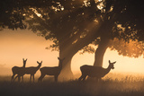 Red Deer, Cervus Elaphus, Graze in the Early Morning Mists of Richmond Park Impressão fotográfica por Alex Saberi