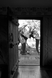 An African Elephant Walking Past an Open Doorway in a Camp Fotografisk trykk av Beverly Joubert