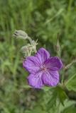 Sticky Geranium, Geranium Viscosissimum, Flowers Bloom in Montana's Boulder River Valley Lámina fotográfica por Gordon Wiltsie