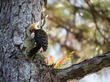 A Blond-Crested Woodpecker Chips Away at a Tree in Ubatuba, Brazil Impressão fotográfica por Alex Saberi