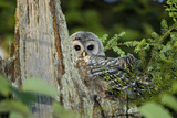 A Juvenile Barred Owl, Strix Varia, Rests on Top of a Dead Tree Reproduction photographique par Paul Colangelo