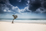A Lone Tree on the Beach in Jericoacoara, Brazil Impressão fotográfica por Alex Saberi