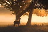 A Red Deer, Cervus Elaphus, in the Early Morning Mists of Richmond Park Impressão fotográfica por Alex Saberi