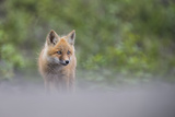 Portrait of a Red Fox Kit Photographic Print by Peter Mather