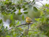 A Saffron Finch, Sicalis Flaveola, Sits on a Branch in Ubatuba, Brazil Impressão fotográfica por Alex Saberi