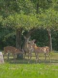 A White-Tailed Doe and Her Two Fawns Graze Below an Apple Tree in a Backyard Near Bozeman Lámina fotográfica por Gordon Wiltsie