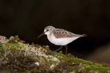 A Western Sandpiper, Calidris Mauri Photographic Print by Paul Colangelo