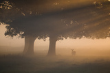 A Red Deer, Cervus Elaphus, Grazes in the Early Morning Mists of Richmond Park Impressão fotográfica por Alex Saberi