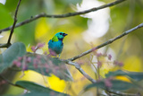A Green-Headed Tanager Sitting on a Branch with Berries Impressão fotográfica por Alex Saberi