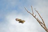 A Red-Tailed Hawk, Buteo Jamaicensis, Flies Above Montana's Gallatin Valley Near Bozeman Stampa fotografica di Gordon Wiltsie