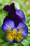 Close Up of a Pair of Pansy Flowers Fotoprint van Darlyne A. Murawski
