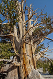 Great Basin Bristlecone Pines, Pinus Longaeva, Among World's Oldest Living Trees, Patriarch Grove Reproduction photographique par Gordon Wiltsie