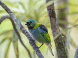 A Green-Headed Tanager in a Tropical Environment in Ubatuba, Brazil Impressão fotográfica por Alex Saberi