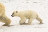 A Polar Bear, Ursus Maritimus, and Her Cub Photographic Print by Kent Kobersteen