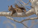 An American Red Squirrel, Tamiasciurus Hudsonicus, Perches on a Branch of an Aspen Tree Fotografie-Druck von Gordon Wiltsie