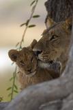 A Lioness Nuzzling Her Cub Fotografisk trykk av Beverly Joubert