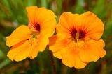 Bright Orange Nasturtium Flowers Photographic Print by Darlyne A. Murawski