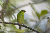 A Green Honeycreeper, Chlorophanes Spiza, Rests in a Tree in Ubatuba, Brazil Impressão fotográfica por Alex Saberi