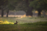 A Spring Rabbit Grazes in Richmond Park on a Spring Morning Impressão fotográfica por Alex Saberi