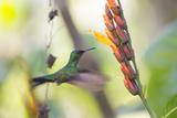 A Violet-Capped Woodnymph, Thalurania Glaucopis, Feeding Mid Flight Impressão fotográfica por Alex Saberi