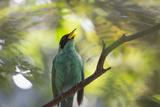 A Green Honeycreeper, Chlorophanes Spiza, Calls Out in Ubatuba, Brazil Impressão fotográfica por Alex Saberi