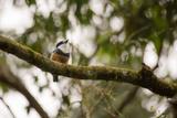 A Buff Bellied Puffbird, Notharchus Swainsoni, on a Branch in Ubatuba, Brazil Impressão fotográfica por Alex Saberi