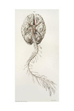 Spinal Arteries and Brain, Illustration, 1844 Giclee Print by  Science Source