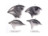Galapagos Finches Giclee Print by  Science Source