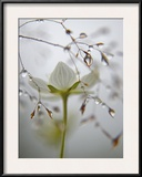 A bog star flower in a river-edge meadow Framed Photographic Print by Michael Melford