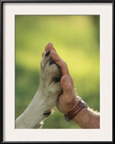 Jim Dutcher Places His Hand to the Paw of a Gray Wolf, Canis Lupus Framed Photographic Print by Jim And Jamie Dutcher