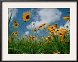 Wild Sunflowers in a Field Framed Photographic Print by Joel Sartore