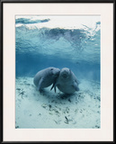 An Underwater Shot of a Pair of Florida Manatees Framed Photographic Print by Brian J. Skerry