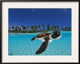 Baby green sea turtle swimming in a tropical paradise Framed Photographic Print by David Doubilet