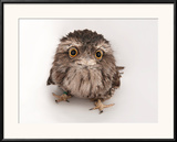 A Tawny Frogmouth Owl, Podargus Strigoides, at the Fort Worth Zoo Framed Photographic Print by Joel Sartore