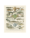 Poissons II Stampe di Adolphe Millot