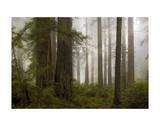 Del Norte Woods II Affiches par David Lorenz Winston